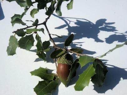 spanische Eichen haben stachlige Blätter